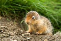 Baby Columbia Ground Squirrel.